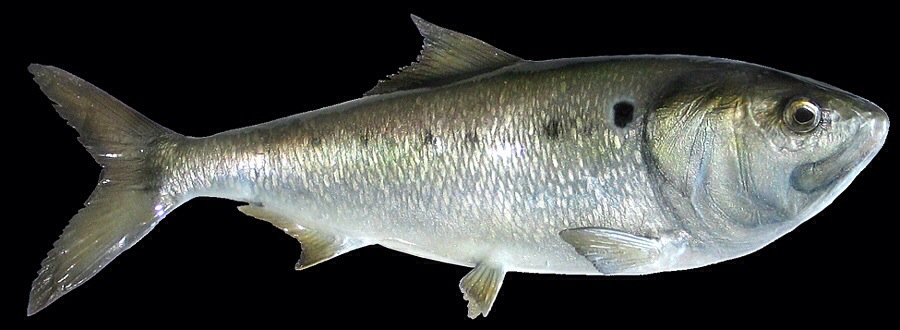 New york state delays quota on bunker fish for ny for New york state fish